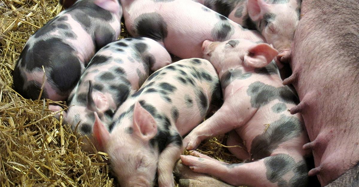 Swine Piglets