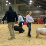 Junior Market Hog Show