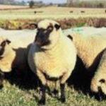 Shropshire Starter Flock Award