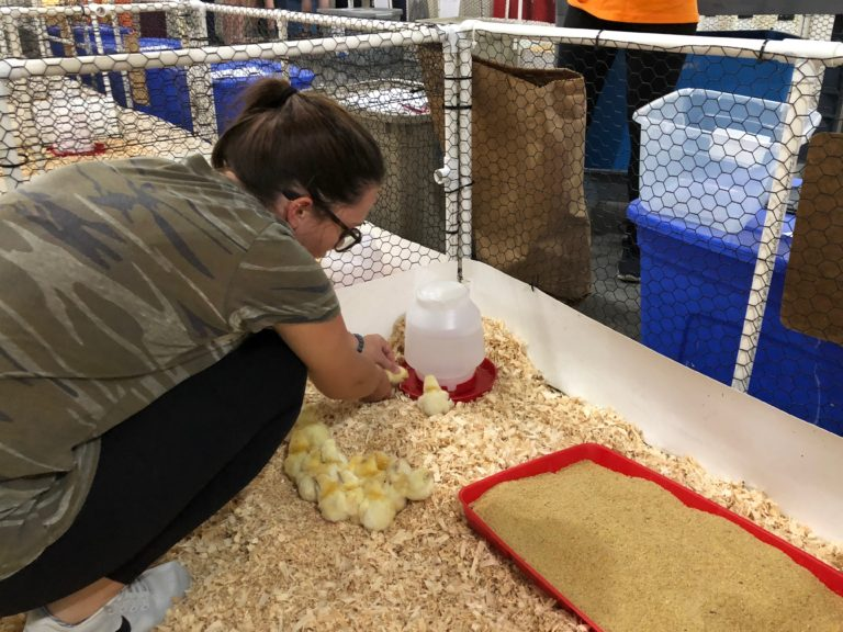 student feed baby chicks