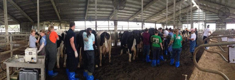 Students working with dairy cattle in a class lab