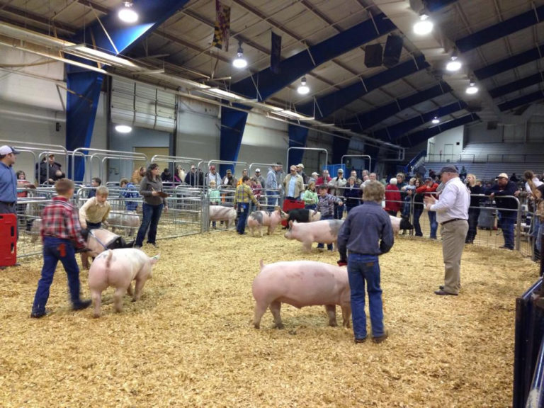 Youth showing their swine and the 4H Swine Show