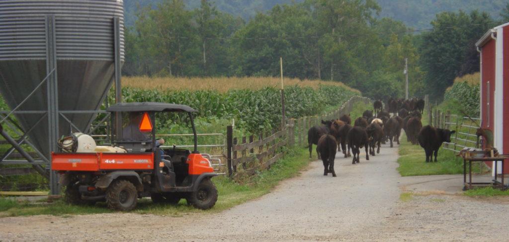 A Farmer driving cattle