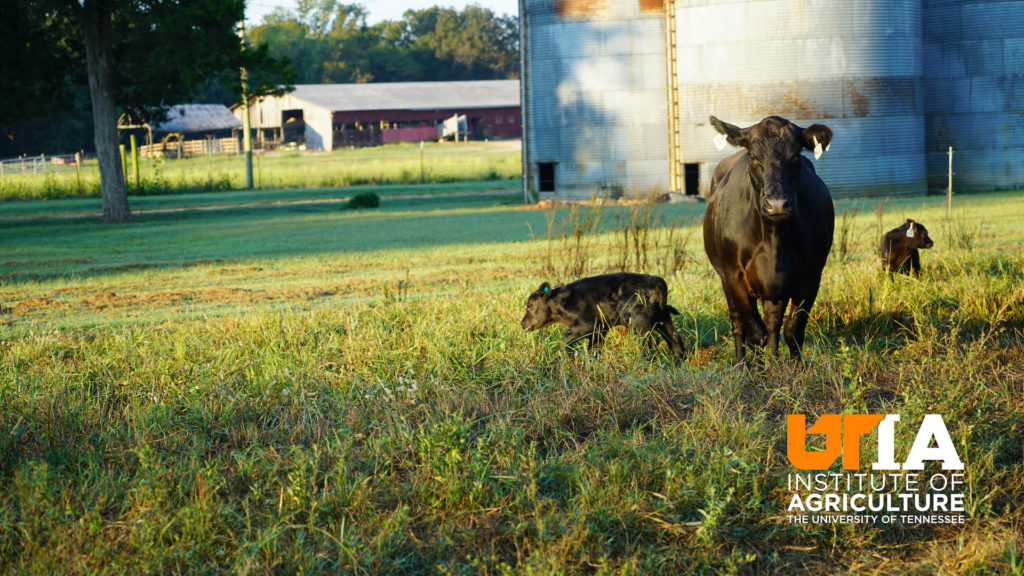 A cow and her calf stand in front of silos in a field