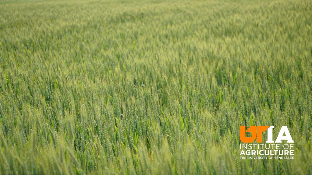 A close-up shot of grain in a field