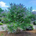Chastetree at UT Gardens, Jackson