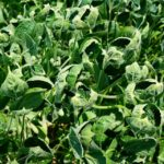 Soybeans Dicamba Damage