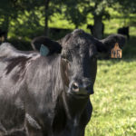 Picture of a beef cow