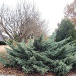 Picture of Holbert Chinese juniper