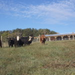 Picture of heifers grazing