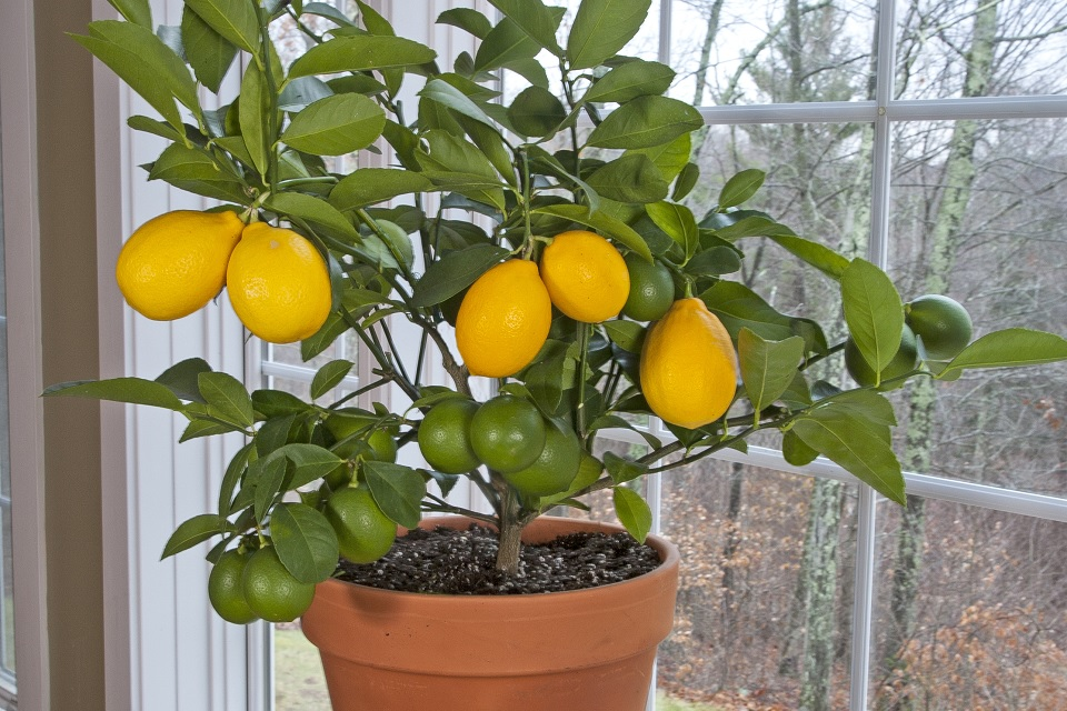 Picture of Meyer lemon growing in a container