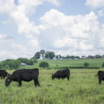 Picture of cows grazing