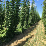 Picture of hops production