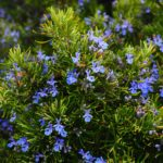 Picture of flowering rosemary