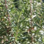 Picture of rosemary plant
