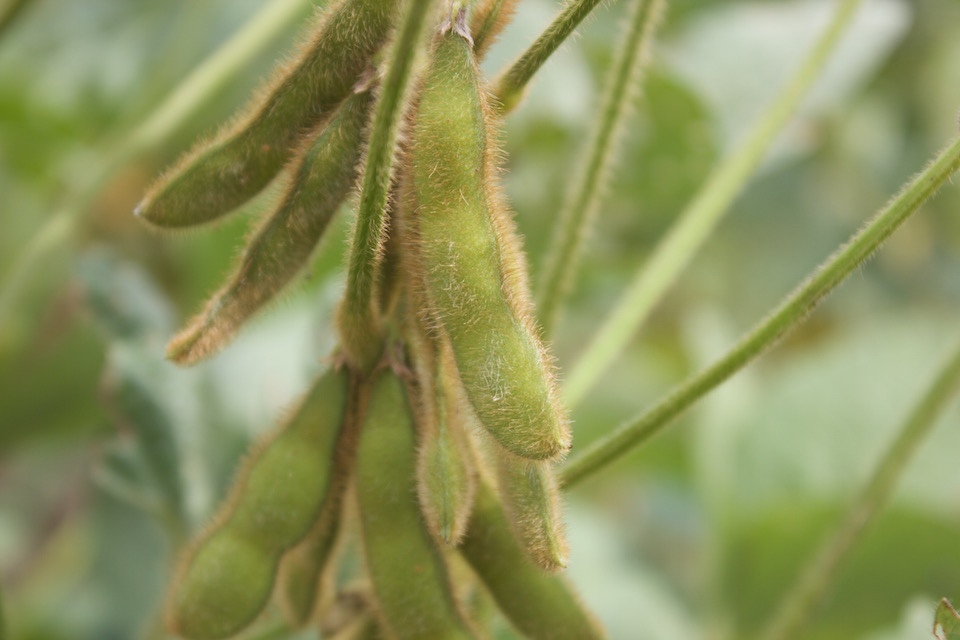 Picture of soybean pods