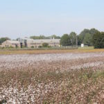 Picture of cotton growing in front of the West Tennessee AgResearch and Education Center