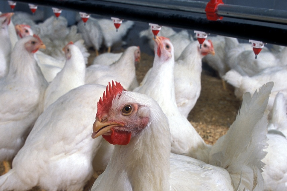 Picture of broiler chickens