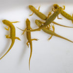 Picture of newts