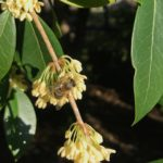 Picture of osmanthus plant with a bee