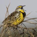An eastern meadowlark sings in a grassland field.