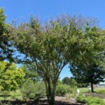 Picture of crepe myrtle plants