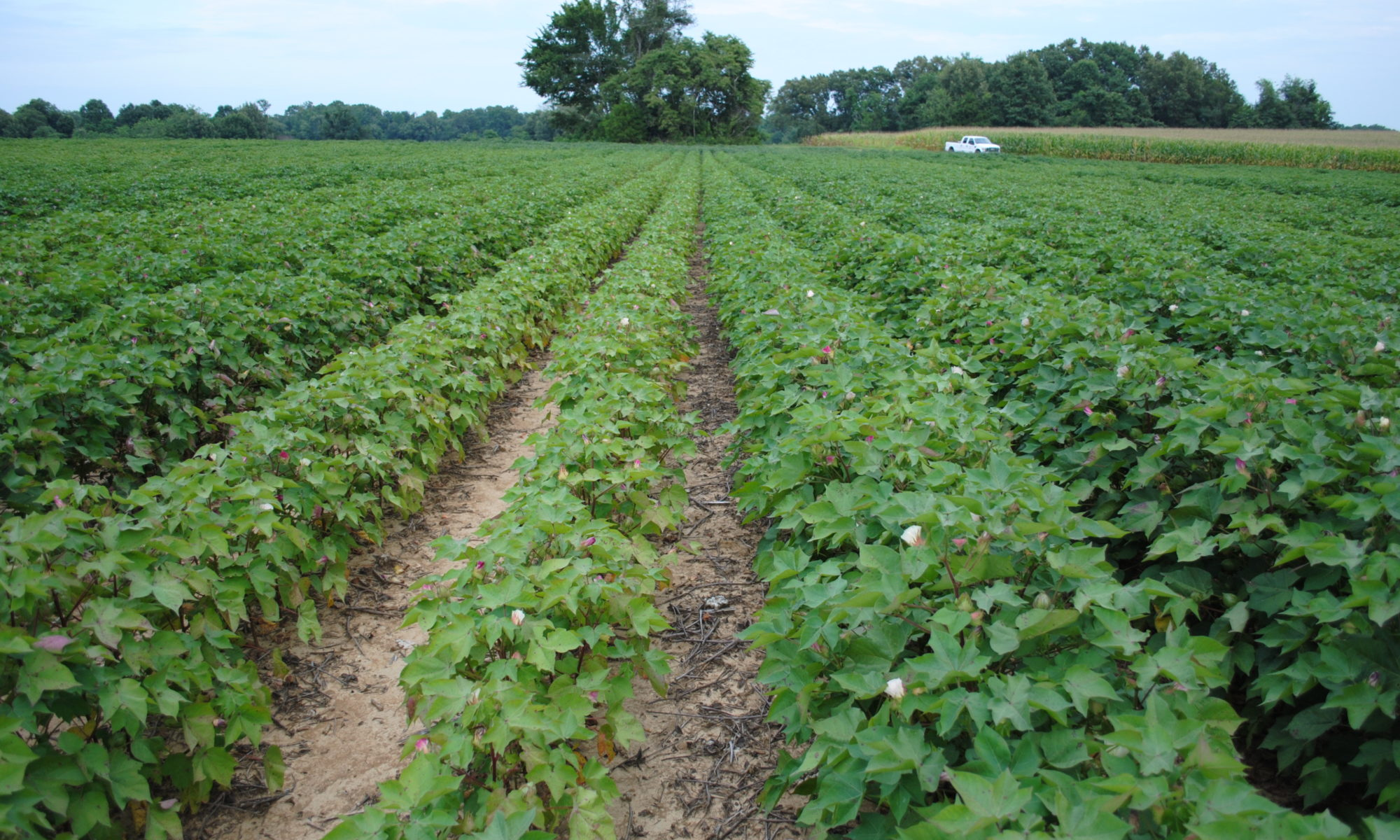 Picture of cotton growing in a field