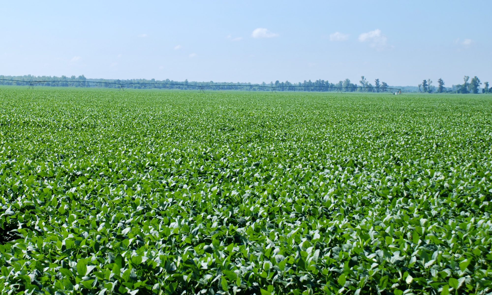 Picture of soybean field