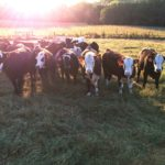 Heifers at UT Beef Heifer Development Center