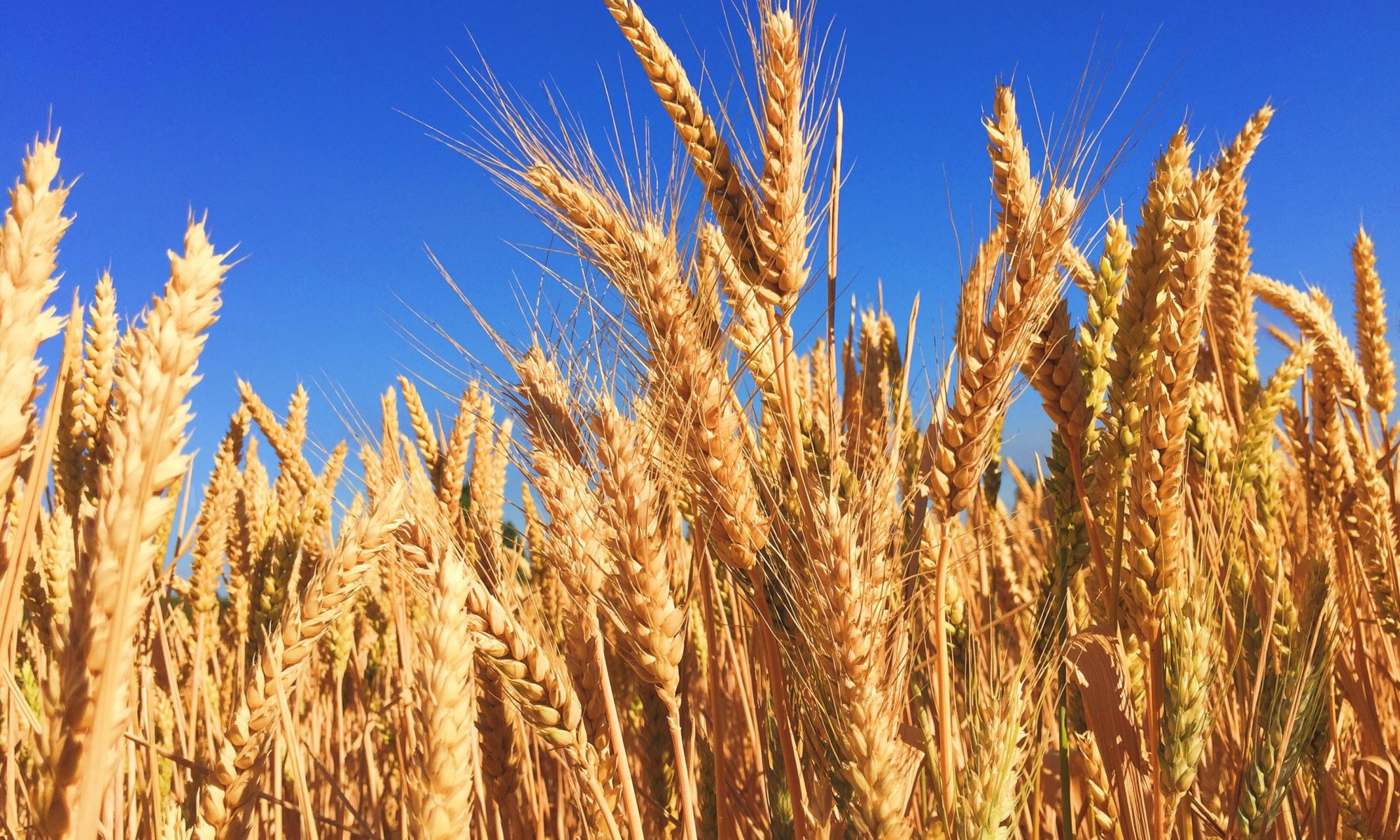 Picture o fcorn against a blue sky background