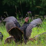 Wild turkeys in a field.