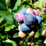 Rabbiteye blueberries