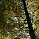 Bald Cypress, UT Gardens, Knoxville