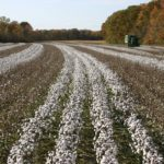 Cotton growing in Milan, Tennessee
