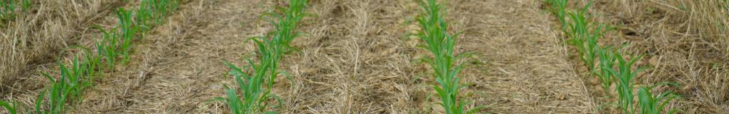 New growth in a no-till corn field