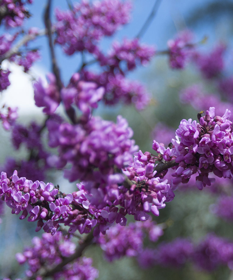 Purple blossoms are shown against a blue sky