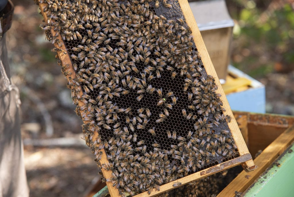 Honeybees are shown moving over a screen in a hive