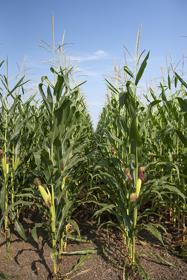 A field of corn with a blue sky in the background