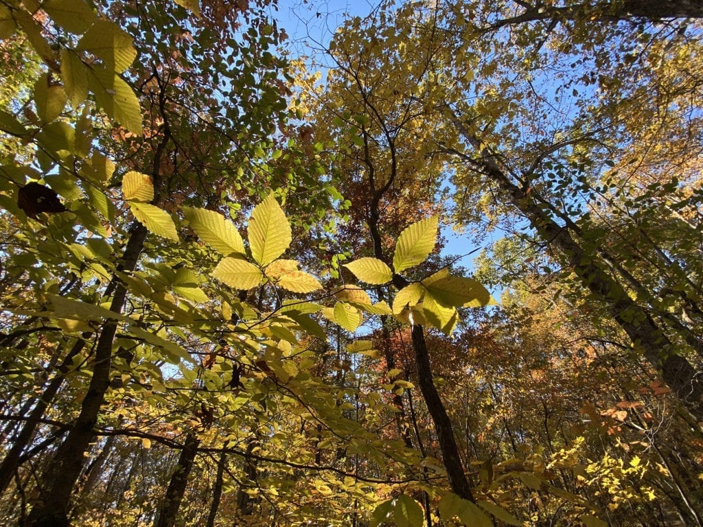 A leafy canopy of autumn leaves