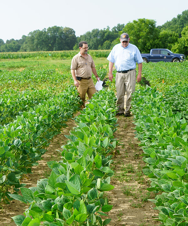 Two men walk down a row of soybean plants in a field