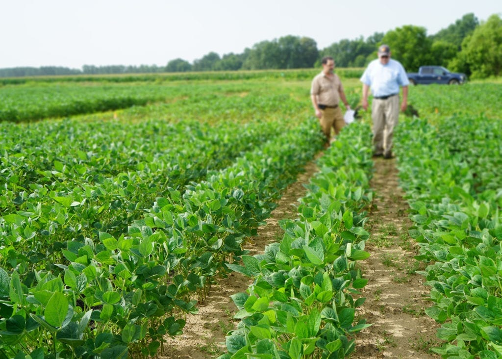 A field of green soybeans with two men walking through the rows in the distance