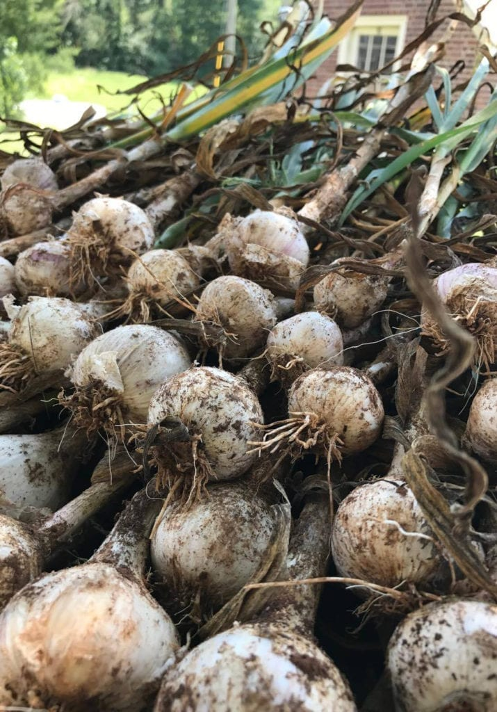 A bunch of turnips, still slightly dirty from being picked